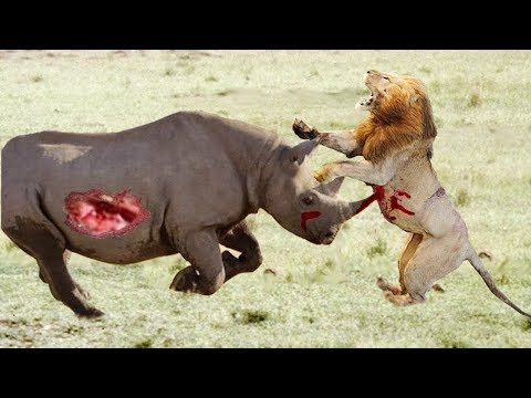 The Best Scenes Of Lions vs Rhinoceros Fight