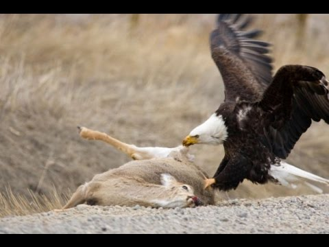 American Bald Eagle  Flying, Hunting, Eating NatureWildlife Documentary