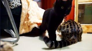 Коты попались на скрытую камеру. Тайная жизнь домашних животных