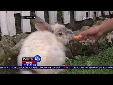 Yuk Wisata Edukasi Bareng Sapi Ongole dan Kelinci Lucu Menggemaskan - NET10