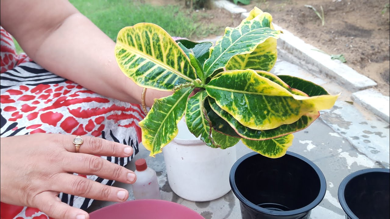 How to grow Croton by cuttings ? || 3 July, 2017