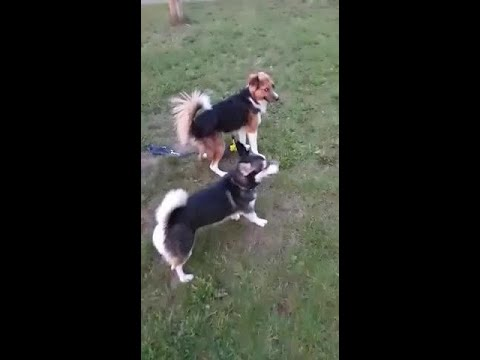 Dog swings his butt as defence against another dog while play fighting