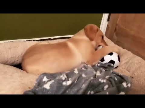Labrador Puppies Funny Clips 2018 (MUST WATCH) | Cute Cats And Dogs