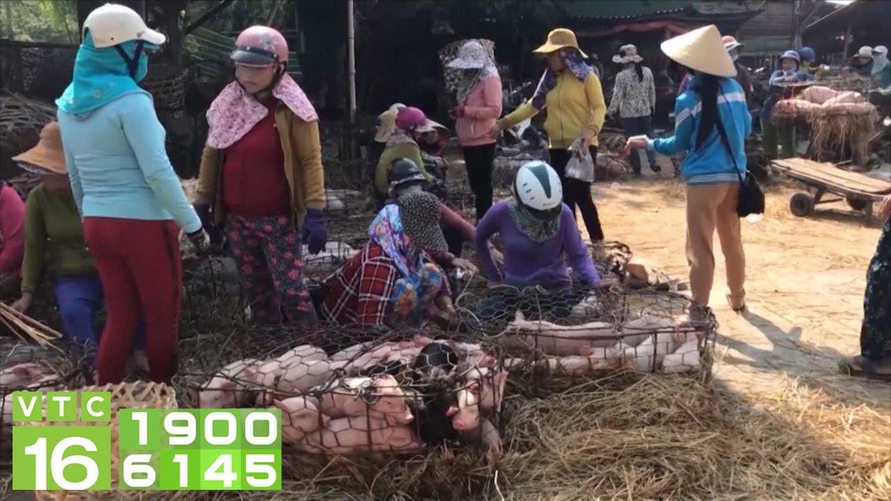 Giá lợn giống đắt như vàng: 3 triệu đồng/con | VTC16