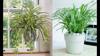 Điều bất ngờ về loài cây được gọi là 'máy lọc không khí', mọc đầy VN