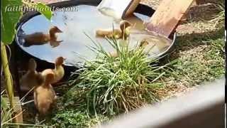 Cute baby ducklings playing on slide