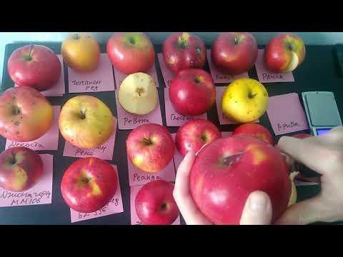 Сравниваем вкус 20 сортов яблок