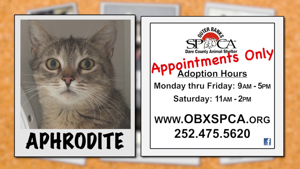 Outer Banks SPCA Pet of the Week - Aphrodite