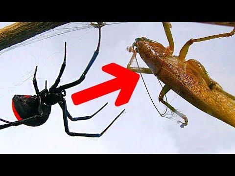 Deadly Spider Vs Giant Brown Grasshopper Bug Wars Killer Spider Bites