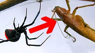 Deadly spider vs giant brown grasshopper bug wars killer spider bites