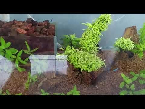 Hygrophila difformis   Tropica Aquarium Plants
