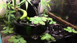 African Dwarf Frog Tank Setup. Infinity Fountain Filter! Thumbnail