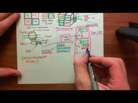 Homologous Recombination for Double Strand Breaks Part 2