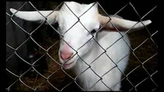 Е-селен и седимин козлятам и козам. Не всегда идет хорошо.