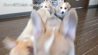 20130727 Part 1 Cute Corgi Puppies Floppy Ears Slow Motion / パタパタお耳のコーギー子犬 スローモーション