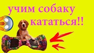 ШОК!!! УЧИМ СОБАКУ КАТАТЬСЯ НА ГИРОСКУТЕРЕ!!! БИГЛЬ ДЖИНА!!!!!