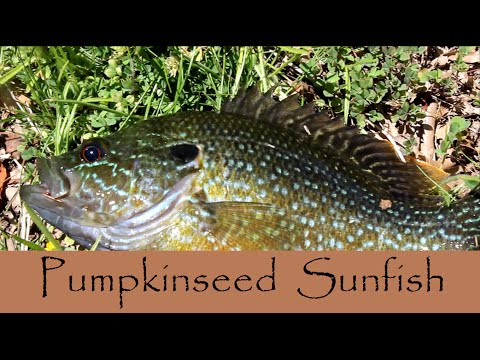 Lure Fishing For Pumpkinseed Sunfish