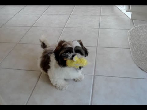 Cute Shih Tzu dog Lacey's first puppy video!