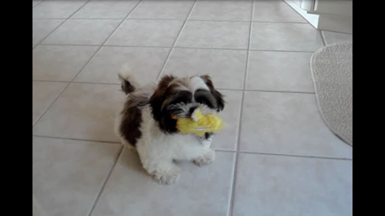 Cute Shih Tzu Dog Laceys First Puppy Video Youtube