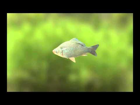 Факты о рыбе (карась)