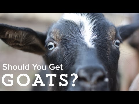 Goats - Should You Get Them?