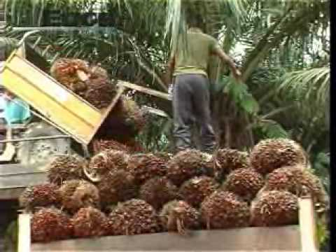 RHB expects palm oil prices to rise again by end 2009