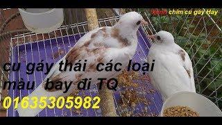 bán chim cu thái các loại màu 01635305982