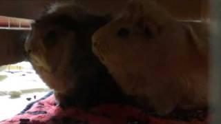 Meerschweinchen zwitschert / zirpen / cirpen