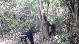 野生のチンパンジーの行動記録 センサーカメラFieldnote VIDEO(特別仕...