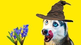 Я - ВОЛШЕБНИК! (Хаски Бандит) Говорящая собака