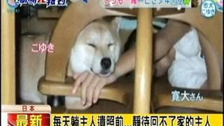 [東森新聞HD]小主人被撞死 日柴犬小雪拍反酒駕廣告 小雪 動画 30