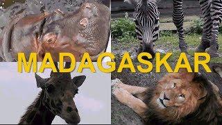 видео про животных лев бегемот жираф зебра Мадагаскар 2017