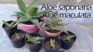 Aloe propagation through pups / offshoots   Aloe saponaria   Aloe maculata   Soap aloe