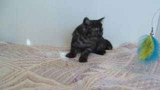 шотландские котята. Кошечка Пенни