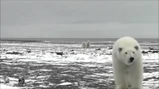 До чего доводит голод белых медведей