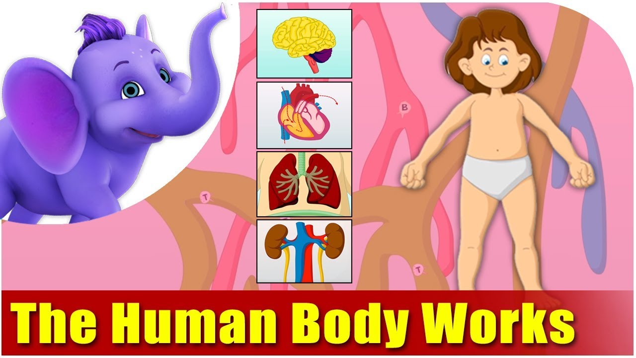 How The Human Body Works Kids Animation Learn Series Youtube