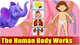 How the Human Body Works - Kids Animation Learn Series