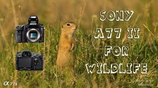 sony a77 ii for wildlife photography