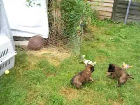 Belgium Tervuren puppy play, 5 weeks old.