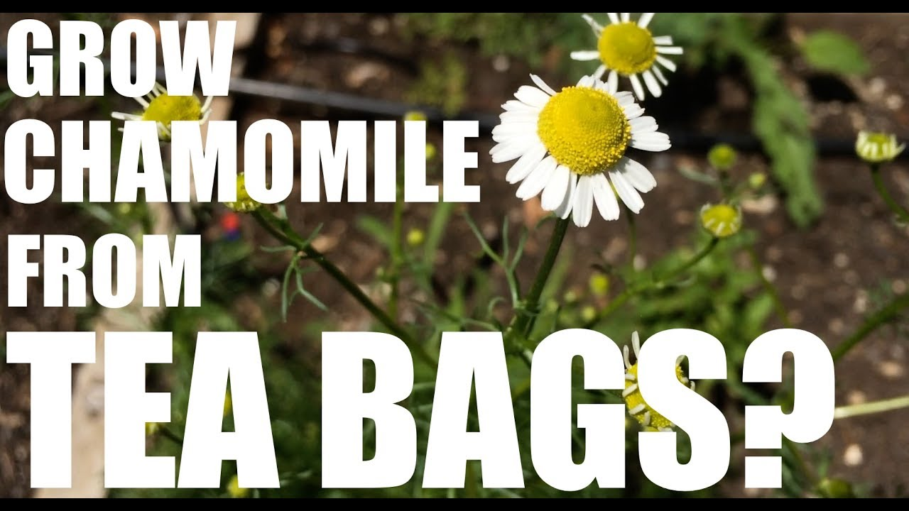 The Single Strategy To Use For Chamomile Seeds - Organic Varieties - Johnny's Selected ...