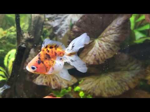Переселение гурами и золотых. Почему начали бояться рыбы?