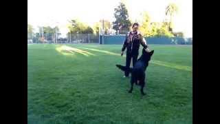 Day 4 - German Shepherd High Distraction Training - Dog Sports Obedience Training