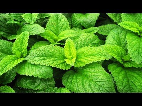 Трава мелисса (мелиса): лечебные свойства и противопоказания