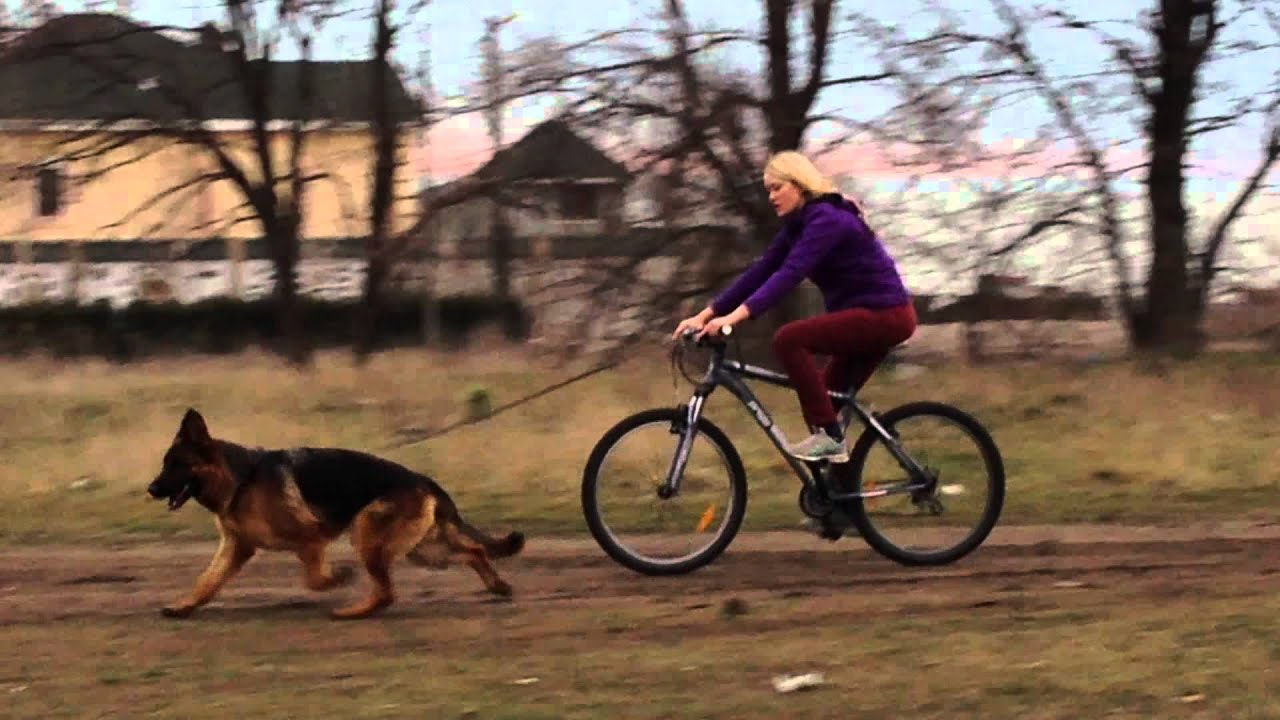 Объявления. Собаки, щенки немецкая овчарка, цены, торговля, фото, kартинки.
