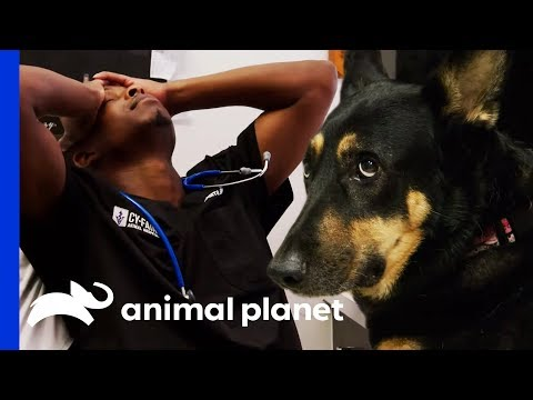 Dr. Blue Tries To Save Dog With Huge Abdominal Growth | The Vet Life