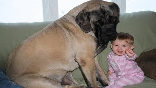 Giant dogs and babies are good friends | Dog loves baby Compilation