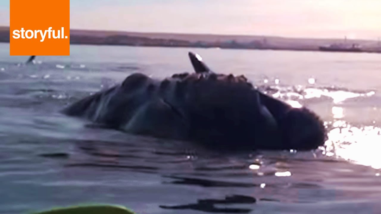 Whale Lifts Kayakers Out Of Water YouTube - Rare moment 40 ton whale jumps completely out of the water