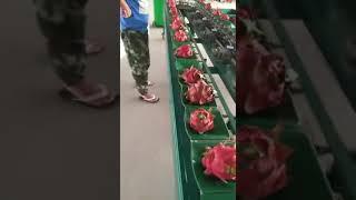 Dragon fruit cleaning aฑd sorting machine
