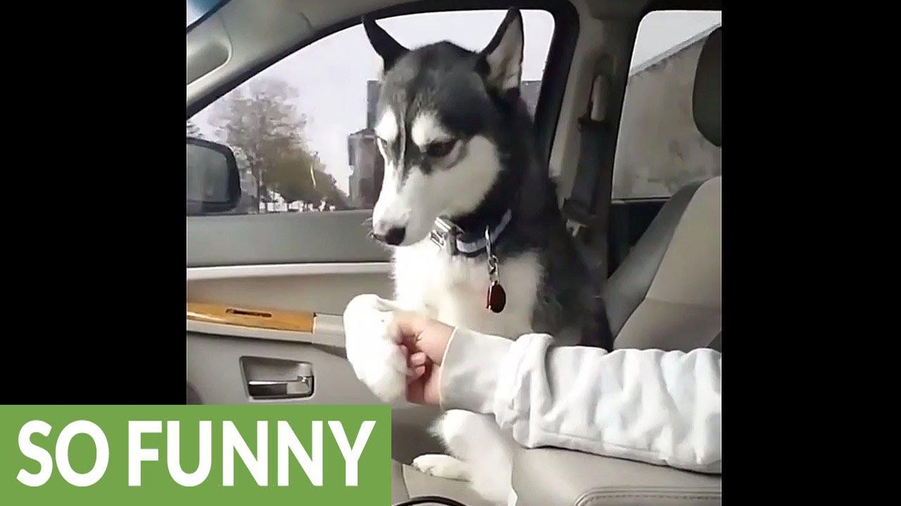 Хаската која бара да биде галена дури и во автомобил