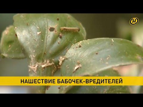 Нашествие бабочек-вредителей. В Бресте уничтожены самые красивые насаждения